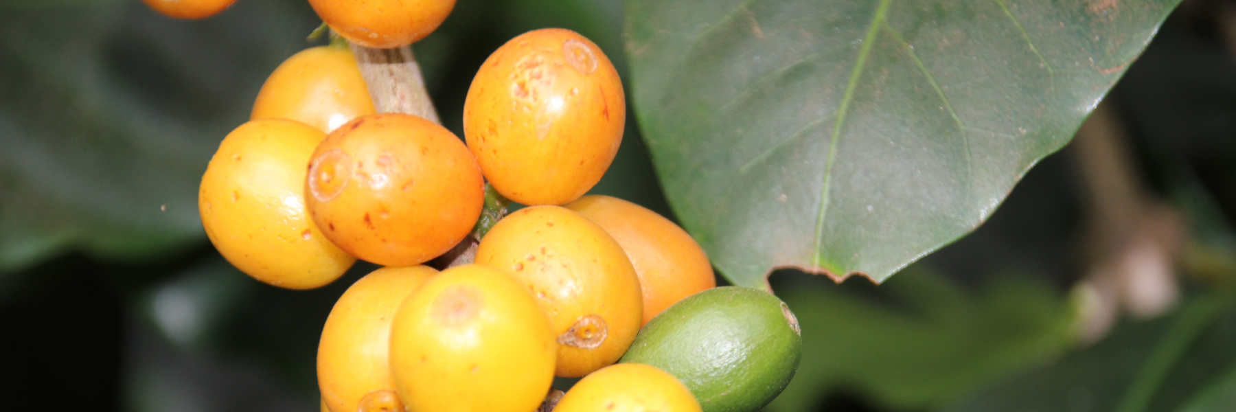 Variatät Yellow Catuai auf der Finca Capim Branco in Brasilien