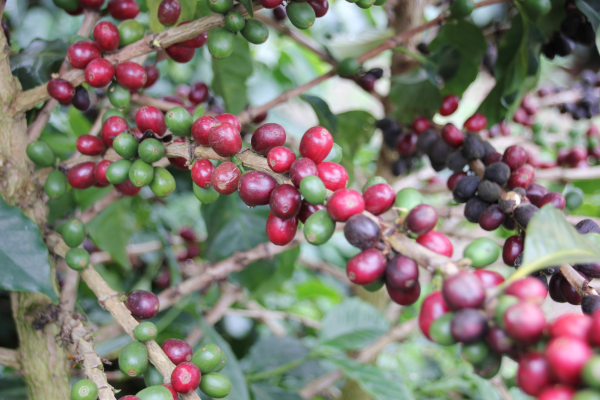 Kaffeekirschen in Brasilien