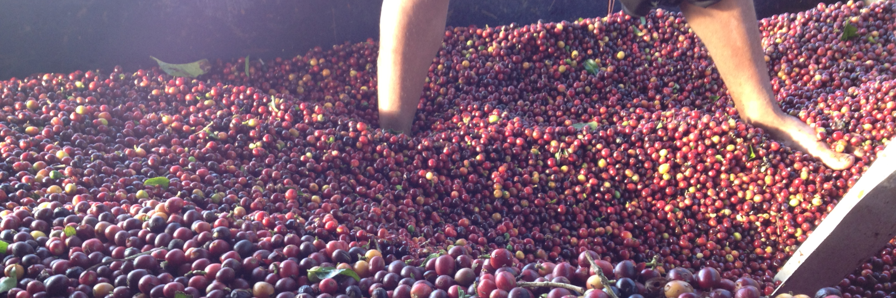 Panama Kaffeekirschen sortieren