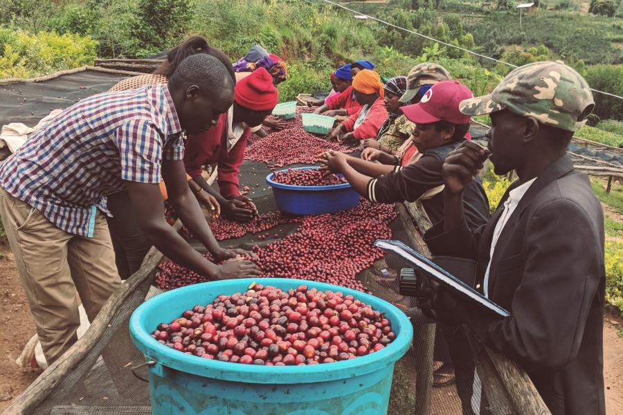 Farmer beim Sortieren in Ruanda