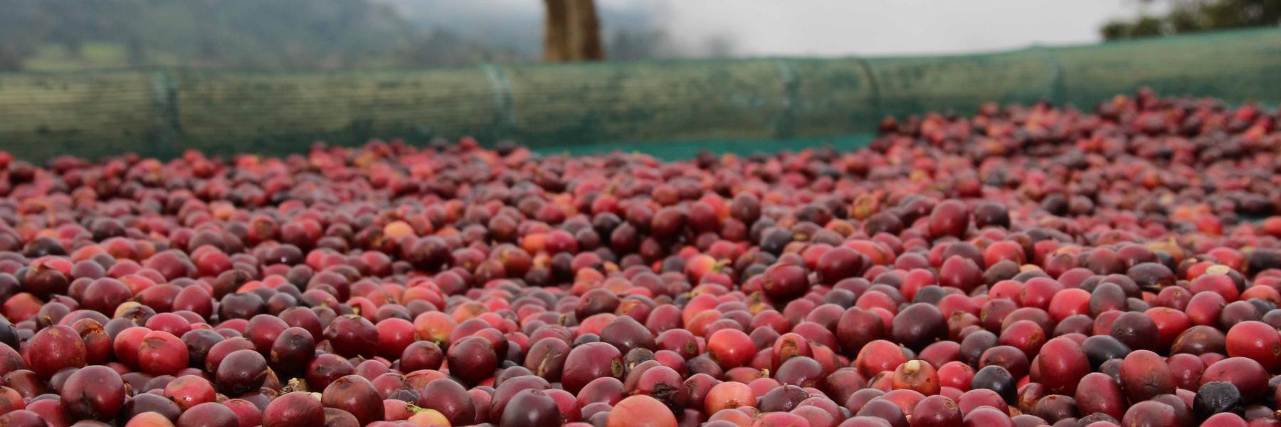 Panama Kaffeekirschen