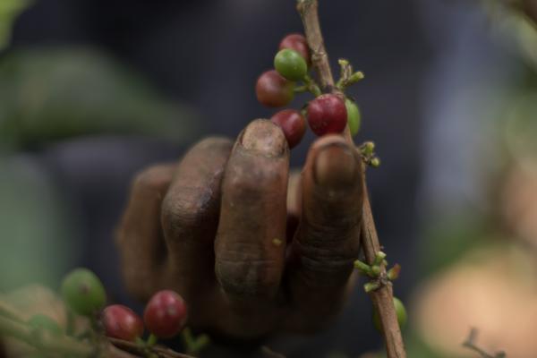 Kaffeekirschen pflücken