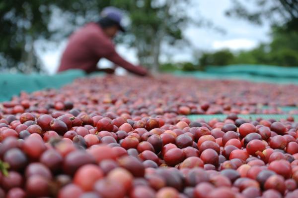 Kaffeekirschen beim trocknen in Panama